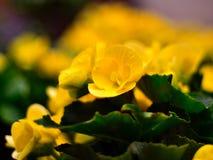 Yellow flowers. Beautiful yellow flowers, lush green leaves Royalty Free Stock Image