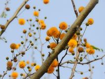 Yellow flowers. Beautiful yellow mimosa flowers on tree stock photo