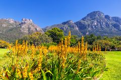 Yellow flowers and beautiful mountains in the background in Kirstenbosch botanical garden. In Cape Town royalty free stock images
