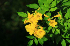 Yellow flowers. In a beautiful tropical vegetation as well Stock Photography