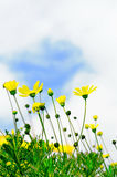 Yellow flowers. Beautiful yellow flowers under the blue sky Stock Photography