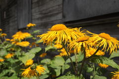 Yellow flowers. Beautiful yellow flowers and wooden wall of house Royalty Free Stock Image