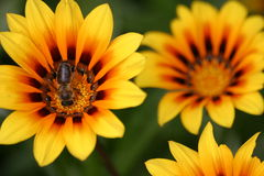Yellow flowers with bee. Bee visiting yellow flowers royalty free stock images