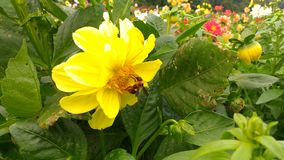 Yellow flowers and bee Stock Photo
