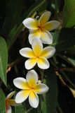 Yellow flowers of Plumeria royalty free stock images