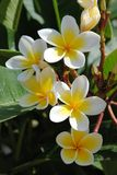 Yellow flowers of Plumeria stock image