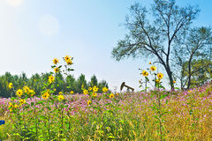 The yellow flowers and bipinnatus coreopsis anthemy Royalty Free Stock Images