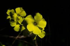 YELLOW FLOWERS IN BLACK BACGROUND stock photo