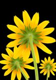 Yellow Flowers on Black Background Stock Images