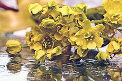 Yellow  flowers black background macro Royalty Free Stock Image