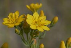 Blackstonia perfoliata plant. Yellow flowers of Blackstonia perfoliata plant royalty free stock image