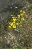 Blackstonia perfoliata plant. Yellow flowers of Blackstonia perfoliata plant royalty free stock photo
