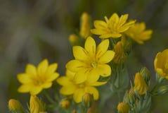 Blackstonia perfoliata plant. Yellow flowers of Blackstonia perfoliata plant stock images