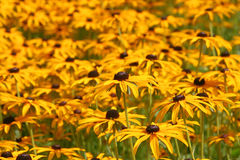 Yellow flowers in bloom Stock Images
