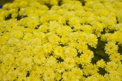 Yellow flowers in bloom Royalty Free Stock Photography