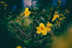 Free Yellow Flowers Bloom Beautifully On The Tree. Stock Images - 164097034