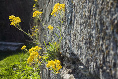 Yellow flowers bloom on a rock Stock Images
