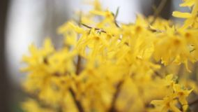 Yellow flowers bloom in spring isolated stock video footage