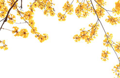 Yellow flowers bloom in spring isolated on white background Stock Images