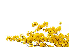 Yellow flowers bloom in spring isolated on white background Stock Photography