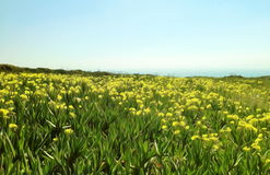 Yellow flowers blooming against a clear blue sky Stock Images