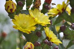 Yellow flowers of blooming cactus Stock Photos