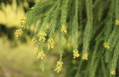 Yellow flowers blooming on a Cryptomeria tree in springtime. stock photo