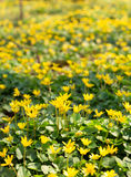 Yellow flowers Royalty Free Stock Photography
