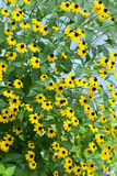 Yellow flowers. Blooming yellow flowers large shrub rudbeckia royalty free stock photo