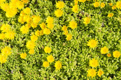 Yellow midday  flowers Stock Photos