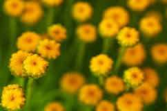 Free Yellow Flowers Blooms In Spring Time. Stock Photography - 63856562