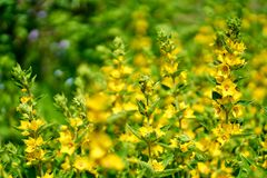 Yellow flowers in blossom, close up stock photo