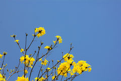 Yellow flowers blossom in spring time on blue sky. Yellow flowers blossom in spring time on sky Royalty Free Stock Image