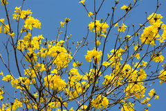 Yellow flowers blossom in spring time on blue sky Royalty Free Stock Image