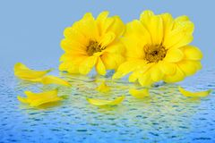 Yellow flowers on a blue background Stock Photo