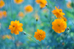 Yellow flowers on a blue background. Yellow cosmos flowers on a beautiful background. Selective focus Stock Photo