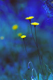 Yellow flowers in blue scene as a fairy tale world Royalty Free Stock Photo