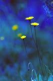 Yellow flowers in blue scene as a fairy tale world. Digital modify Royalty Free Stock Photo