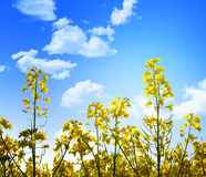 Yellow flowers and blue sky Stock Photos