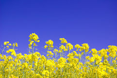 Yellow flowers and blue sky. Yellow flowers against blue sky Royalty Free Stock Images