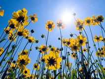 Yellow flowers on blue sky background. Stock Photography