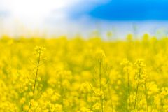 Yellow flowers and blue sky. Spring or summer meadow field landscape. Yellow flowers and blue sky. Calm natural colors landscape with field meadow flowers Stock Photo