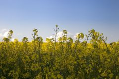 Yellow flowers with blue sky Stock Photography