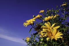 Yellow flowers blue sky Stock Photo