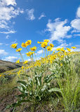 Yellow flowers and blue sky with puffy clouds Royalty Free Stock Image