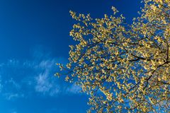 Yellow Flowers in The Blue Sky for Spring Background royalty free stock image
