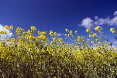Yellow Flowers and Blue SkyVib Stock Images