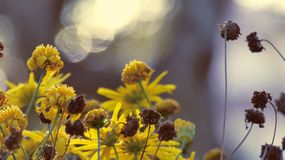 Yellow flowers with blurred background royalty free stock image