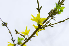 Yellow flowers branch forsythia europaea Stock Photo
