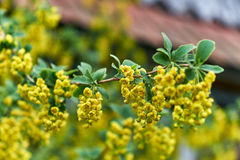 Yellow flowers on a branch Royalty Free Stock Photo
